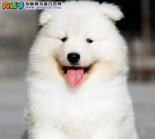 三亚专业狗场直销萨摩耶 纯种澳版保证让您买的放心