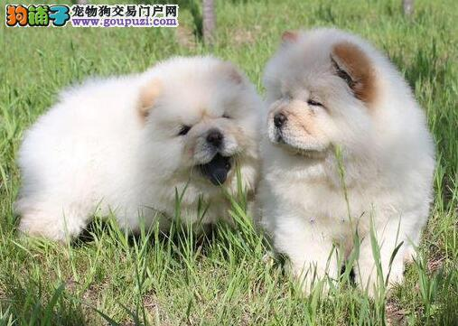 犬舍直销顶级高品质纯血统松狮幼犬