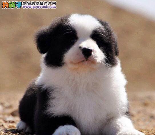 正规狗场热销健康优秀白金汉宫血系南京边境牧羊犬