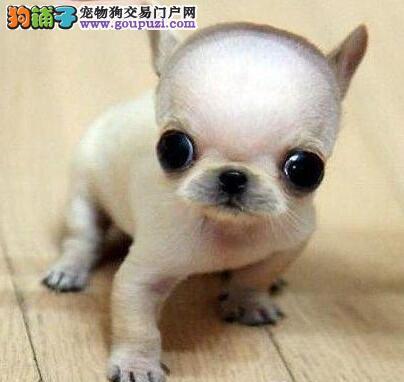 直销吉娃娃幼犬 纯度好100%健康 专业信誉服务
