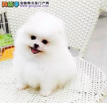 球形体小巧可爱博美犬沧州地区购犬送狗粮