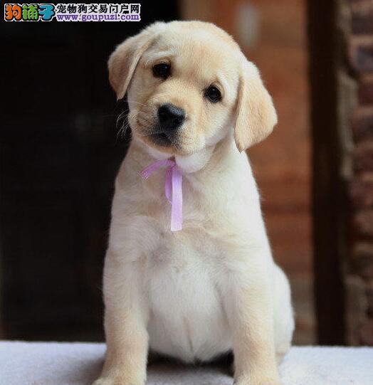 自家繁殖纯种烟台拉布拉多犬转让售后保障全