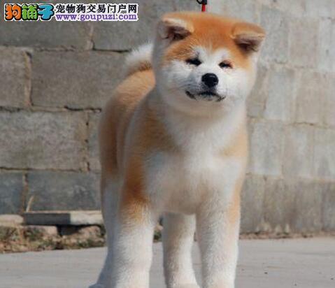 合肥一窝家养的日系秋田犬找新主人 可随时电话联系