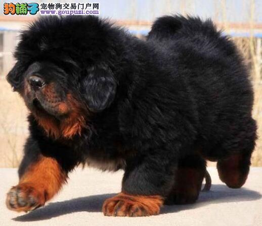 CKU犬舍认证出售高品质天津藏獒当日付款包邮