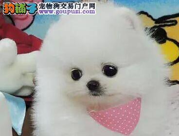 转让赛级血统高品质青岛博美犬 可随时与我电话联系