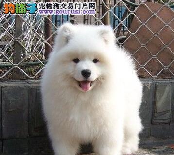 上海正规犬舍高品质萨摩耶带证书CKU认证品质绝对保障