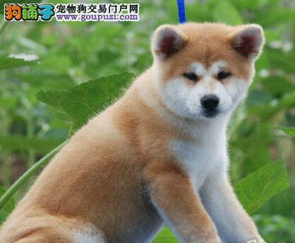 CKU认证犬舍出售高品质秋田犬可签订活体销售协议