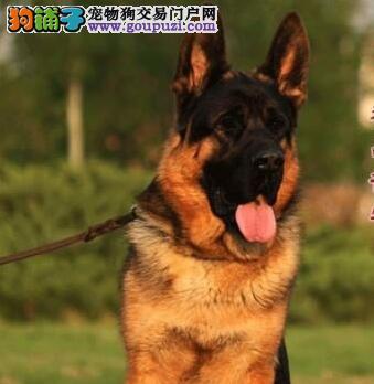 顶级品质德国牧羊犬天津犬舍特价直销 大头锤系