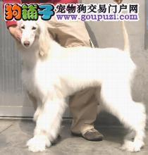 纯种阿富汗猎犬直销 一宠一证证件齐全 专业信誉服务