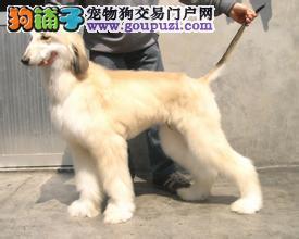 权威机构认证犬舍 专业培育阿富汗猎犬幼犬终身完善售后服务