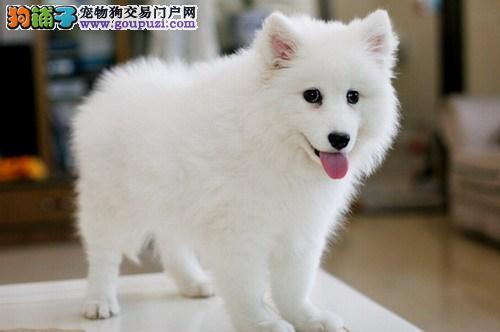 CKU国际标准专业认证精品银狐幼犬出售 免疫质保齐