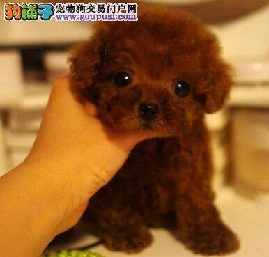 犬舍直销品种纯正健康泰迪犬欢迎上门选购价格公道