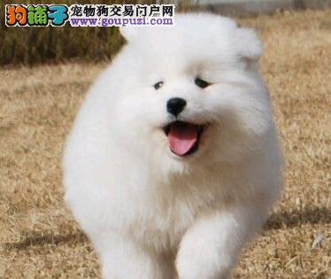 极品微笑天使杭州萨摩耶特价出售 保证健康保证品质