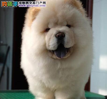 顶级名犬出售肉嘴大头松狮犬 威猛松狮