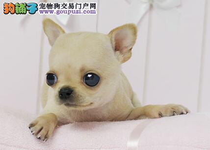 苹果头金鱼眼纯种短毛小体吉娃娃幼犬出售