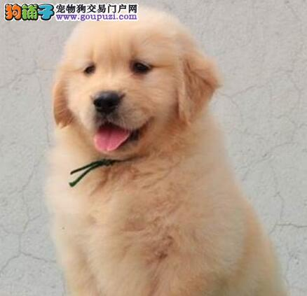 犬种热销大骨架金毛犬 甘南州周边地区可免费送狗上门