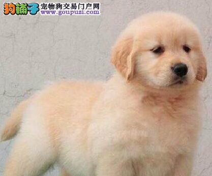 狗场直销高品质天津金毛犬品相好质保出售