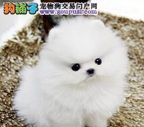 精品哈多利版博美犬南京狗场出售 有问题可包邮退换