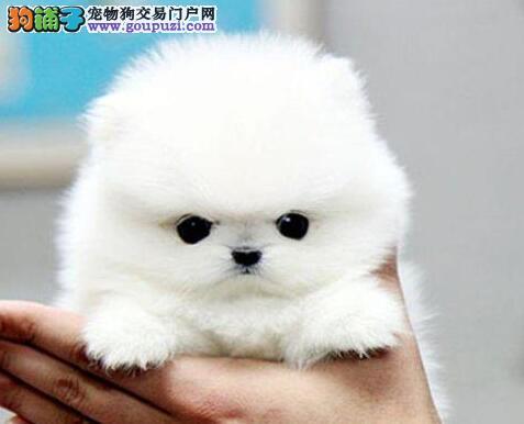 火爆出售哈多利版博美犬 宁波市内可送到家支持空运
