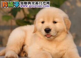 高品质深圳金毛犬低价转让 购买有赠送多只还可更优惠