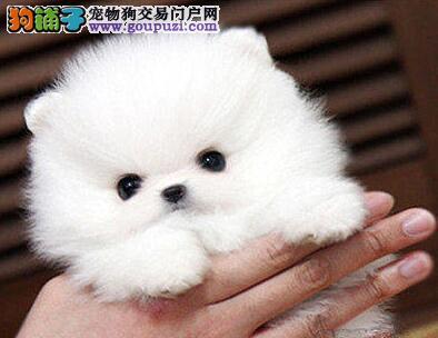 促销价格转让哈多利版博美犬 上海市内可上门挑选