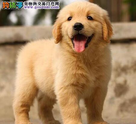 特价热销大骨架上海金毛犬 支持空运发货可网上交易