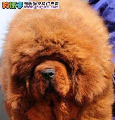 转让极品原生态上海藏獒 可接受预定非诚勿扰保品质