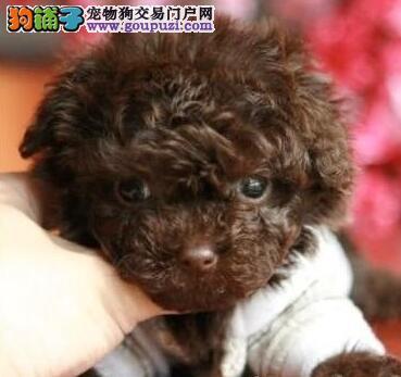 特价促销血统纯正贵宾犬广州市内购买送狗粮