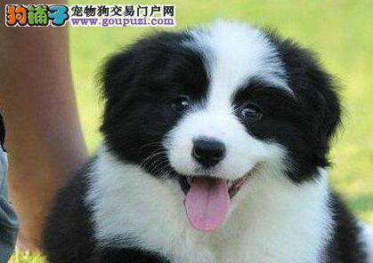 自家狗场繁殖的边境牧羊犬 欢迎来上海犬舍直接购买