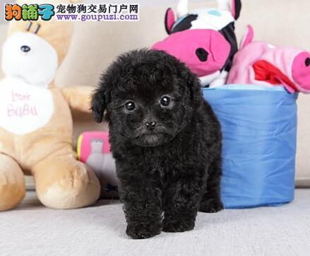 纯种泰迪熊/贵宾犬| 公母颜色可选健康品质保证