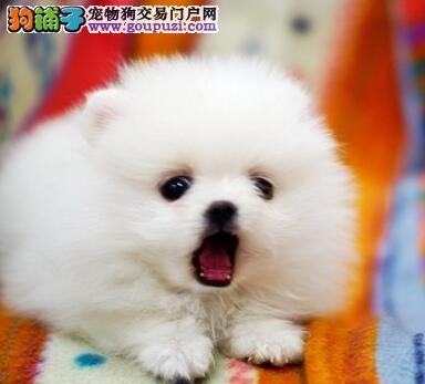 热销多只优秀的岳阳纯种博美犬幼犬质保三年支持送货上门