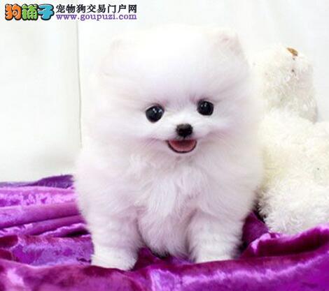 武威热销博美犬颜色齐全可见父母微信咨询视频看狗