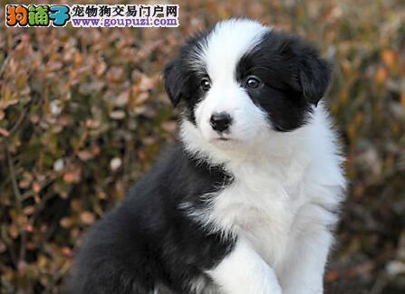七白到位 通脖通缝的杭州边境牧羊犬出售 带证书芯片