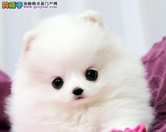 顶级优秀的纯种邵阳博美犬热销中保证品质完美售后