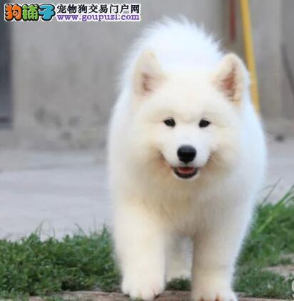 北京售萨摩耶雪橇犬品相好吸睛的宠物狗三个月包退包换
