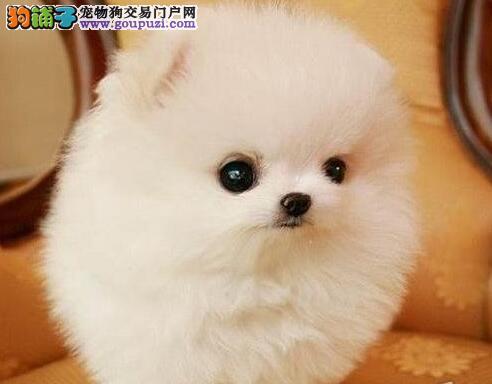 出售纯种小型佛山博美犬 签购买协议保证健康纯种