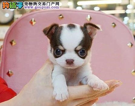 纯血统吉娃娃幼犬、纯度第一品质第一、三包终生协议
