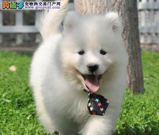 纯种优秀微笑天使杭州萨摩耶直销中 可办理血统证书