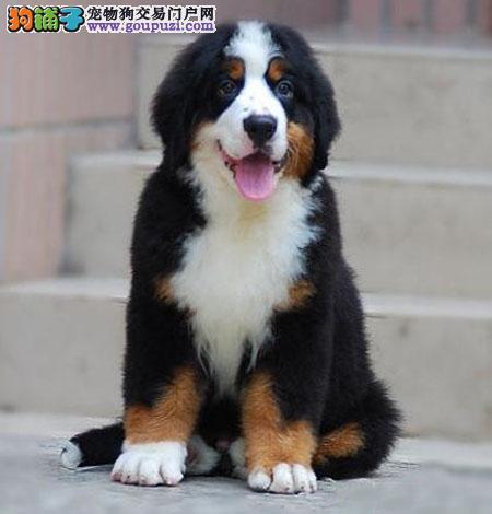 广州哪里有卖伯恩山犬 广州伯恩山犬价格多少 转让买卖