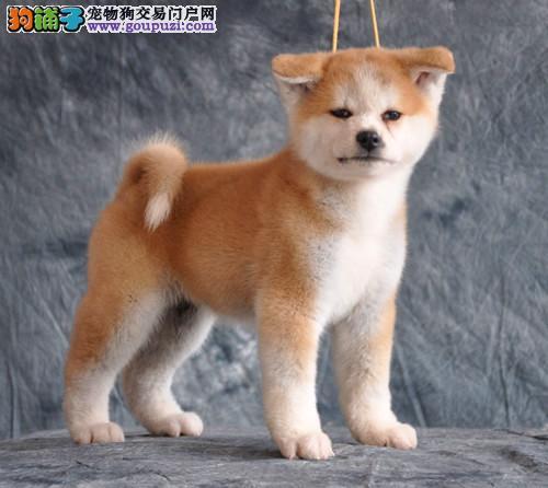 广州哪里有卖秋田犬 广州秋田犬价格多少 宠物转让买卖