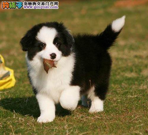 广州哪里有卖边境牧羊犬 广州边牧犬价格多少 转让买卖