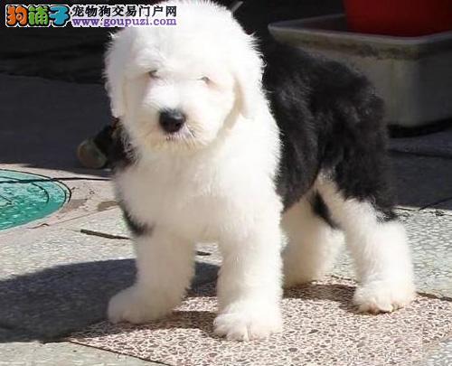 广州哪里有卖古代牧羊犬 广州古牧价格多少 转让买卖