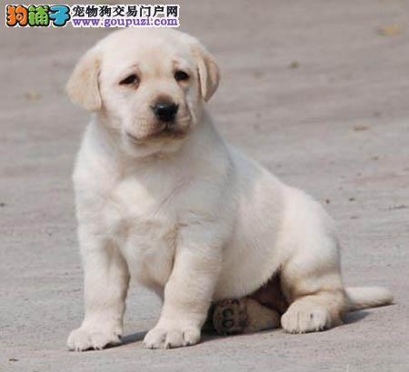 广州哪里有卖拉布拉多 广州拉多犬价格多少 转让买卖