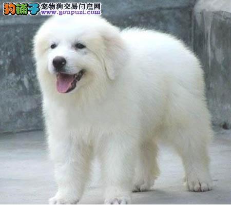 出售广州哪里有卖大白熊 广州纯种大白熊犬什么价格