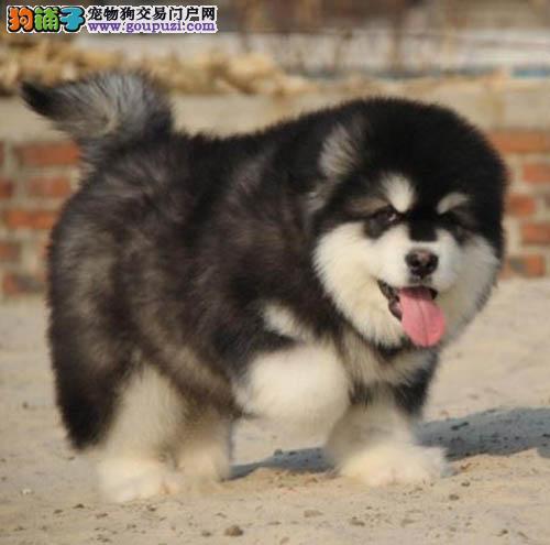 广州哪里有卖阿拉斯加 广州雪橇犬价格多少 转让买卖
