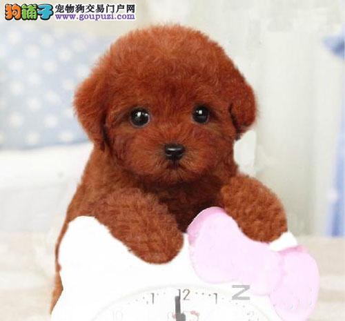广州哪里有卖贵宾狗 广州贵宾犬价格多少 转让买卖