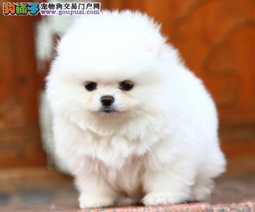 广州哪里有卖博美犬 广州博美价格多少 转让买卖