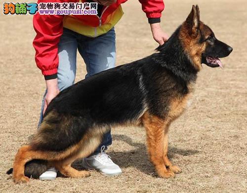 广州哪里有卖德国牧羊犬 广州德牧犬价格多少 转让买卖