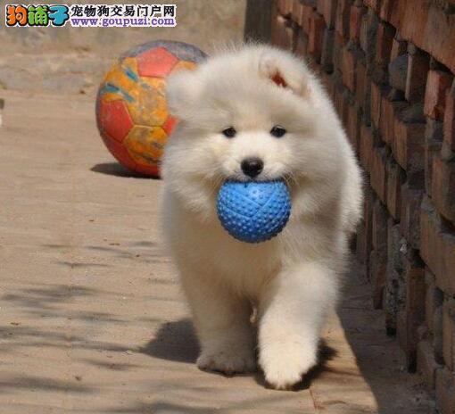 权威机构认证犬舍 专业培育萨摩耶幼犬价格特优惠哦
