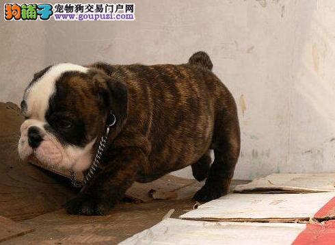 螺旋尾巴大鼻筋品相的吉林斗牛犬找新家品质均有保障